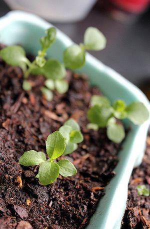plante sucre stevia rebaudiana dulcorant naturel sans calorie poudre sucrette liquide. Black Bedroom Furniture Sets. Home Design Ideas