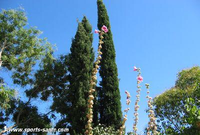 Photo de cyprès et de roses trémières