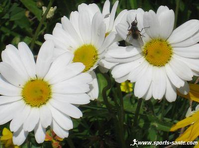 http://www.sports-sante.com/images/fleurs/blanches/marguerite-fleur.jpg