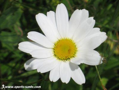 L 39 hu tre v g tale mertensia maritima la plante for Plante amincissante
