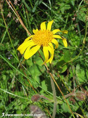 Fleur jaune des alpes l 39 arnica des montagnes - Fleur blanche longue tige ...