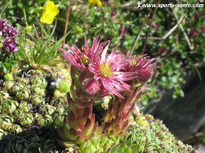 Plante � fleurs roses : la Joubarbe des montagnes
