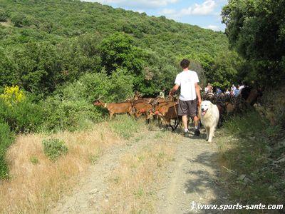 Photo d'un chien patou gardien des troupeaux