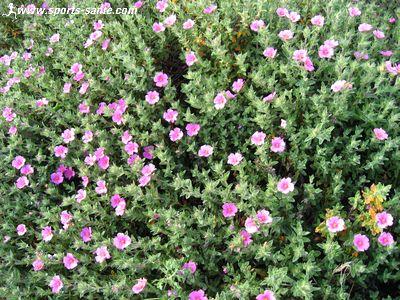 fleur rose des alpes : le lys martagon