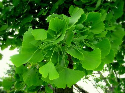 Avis Ginkgo Biloba - Attention, attention divisée, concentration - HOPTOYS