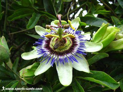Image de la fleur de passiflore