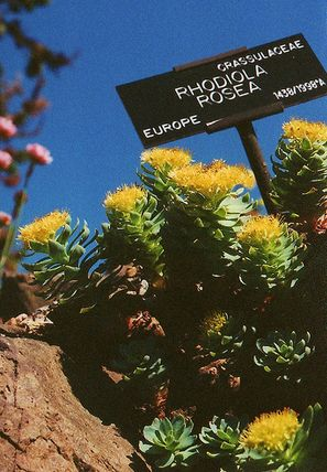 griffonia simplicifolia forum