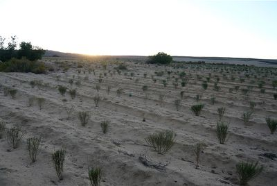 Photo de champs de Rooïbos